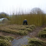 Cutting Willow 2008