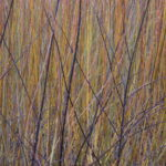 Growing Willow 2008
