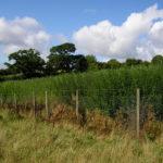 Willow Plantation 2006